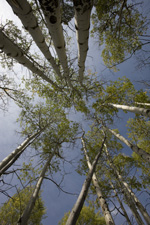 Aspen trees from below with wide angle lens