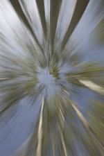 Aspen tree zoom