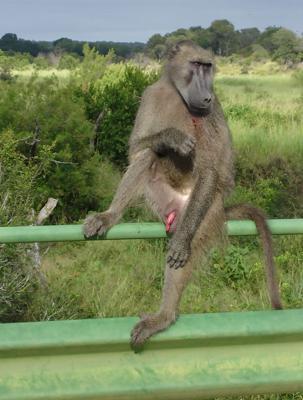 Baboon on bridge
