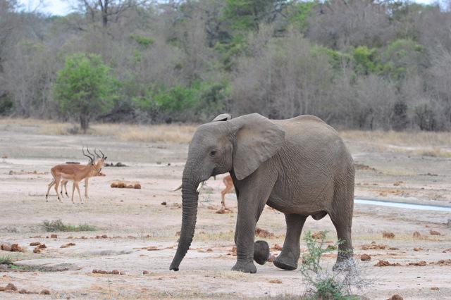 Elephant at N'waswitshaka waterhole