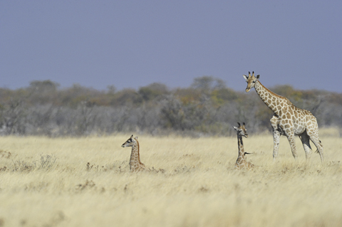 baby giraffe near halali camp in etosha