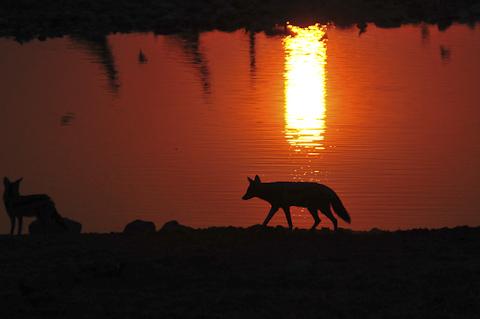 blackbacked jackal silhouette