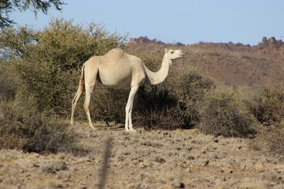 Camel on Koppieskraal.