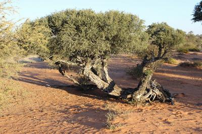 A Witgat tree. The roots are ground and for a Coffee substitute.