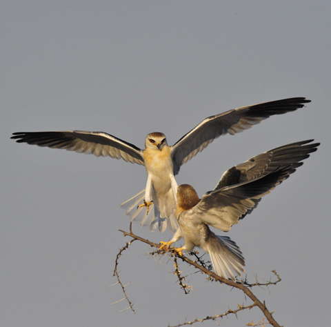 falcons fighting near halali camp in etosha