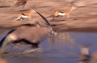 Gemsbok and Springbok blur