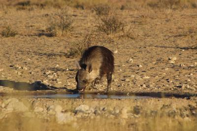 Hyena having a drink.