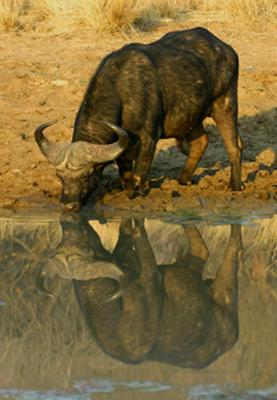 Drinking Buffalo