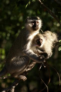 Vervet Mother and Child