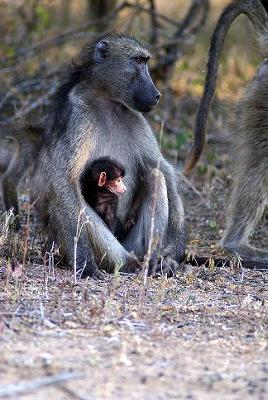 Chacma Baboon and Child