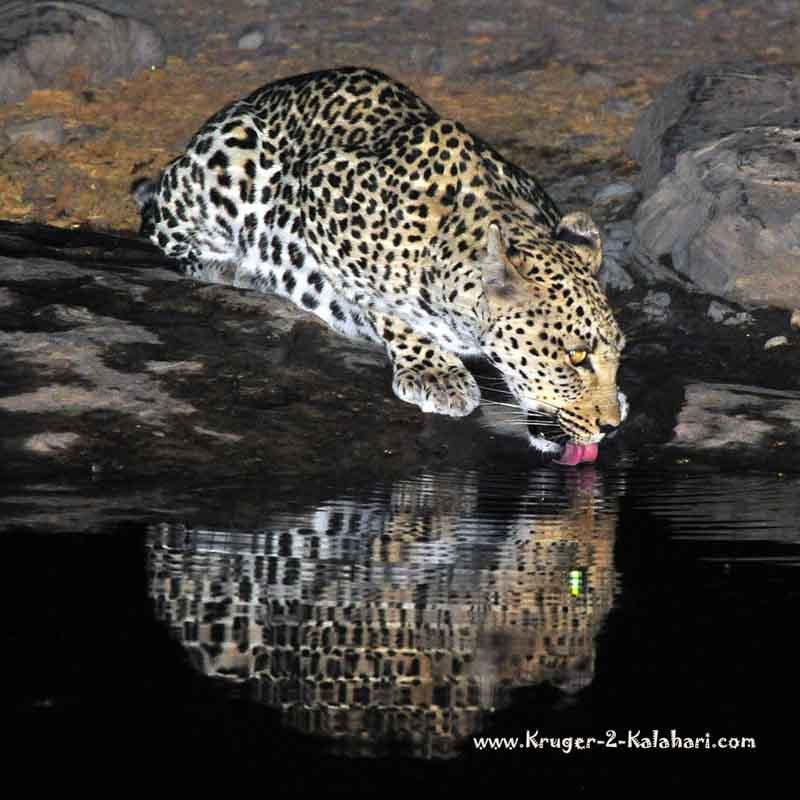 leopard drinking at Moringa waterhole in Halali camp Etosha