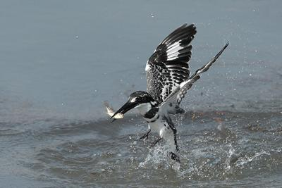 Pied Kingfisher with Catch