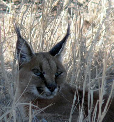 Caracal hiding from a jackal