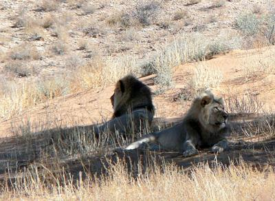 Lions relaxing in the shade