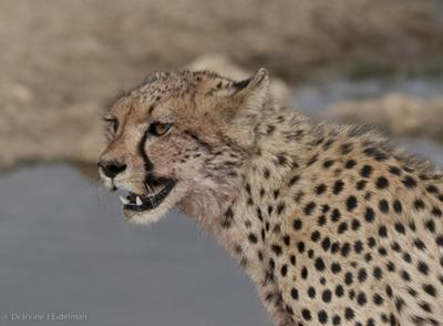 Cheetah after feeding