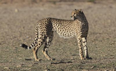 Cheetah @ Rooiputs waterhole