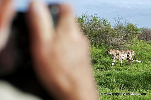 cheetah near Orpen Dam