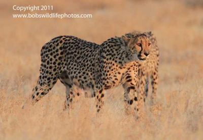 Cheetah mom and son