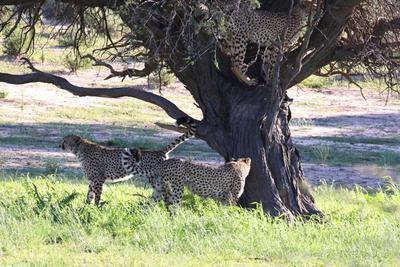 Cheetah in a tree 1