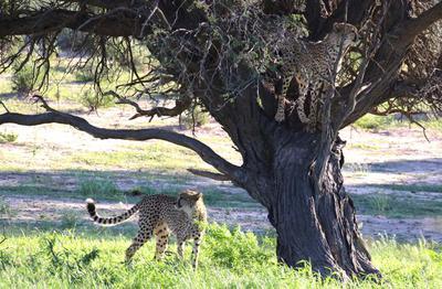 Cheetah in a tree 3