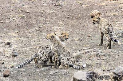 Cheetah cubs S100