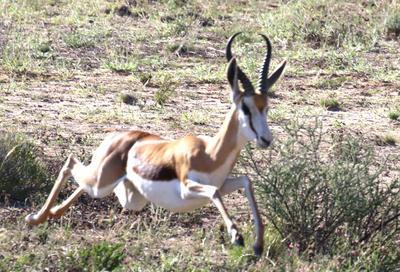 springbok starts to run