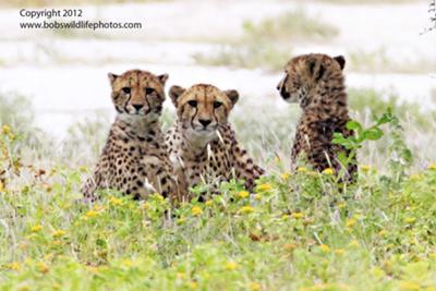 Cheetah family March 2012