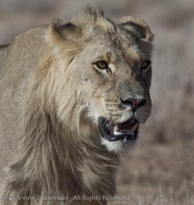 Kalahari lion portrait