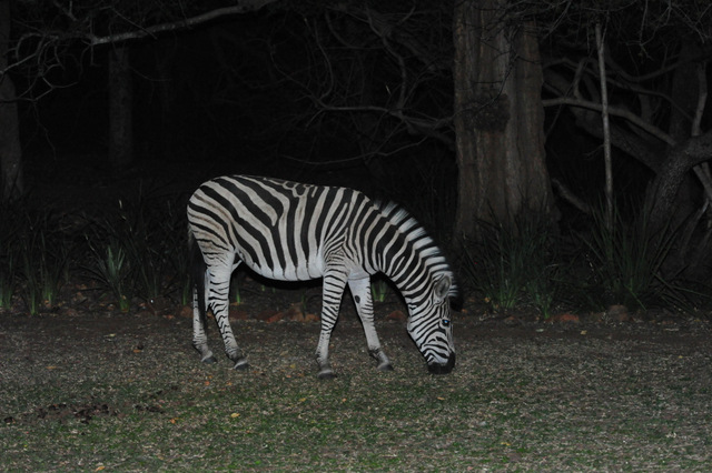 Zebra outside our room