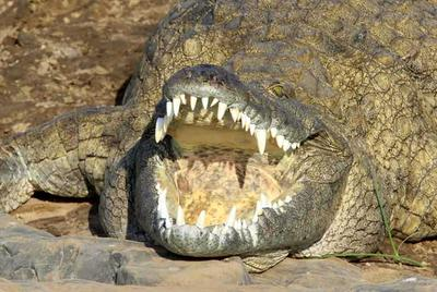 Large croc with mouth open