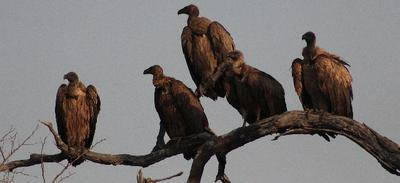 Vultures waiting for the air currents to heat up.