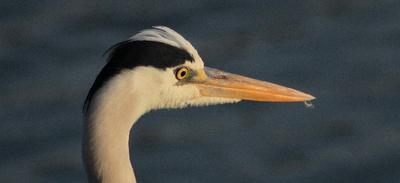 Grey Heron with keen eye sight.