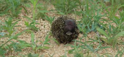 Dung beetle on its way.