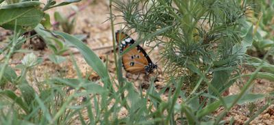 African Monarch at De laporte water hole - no Leopard.