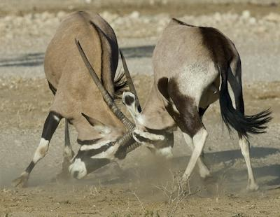 Gemsbok in a dusty duel