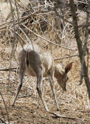 Duiker looking at ground