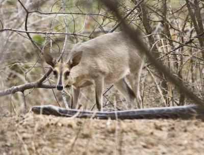 duiker gets too close