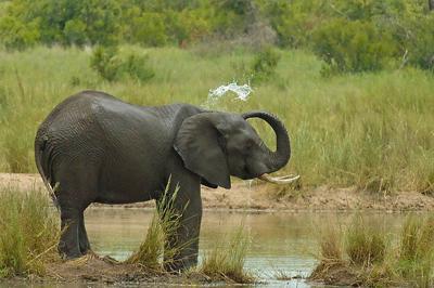 Elephant near Skukuza