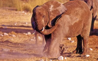 elephant having dust bath
