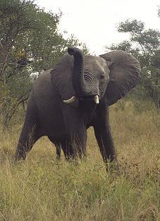 Bull Elephant Warning
