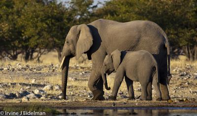 Elephants at Rietfontein- Etosha