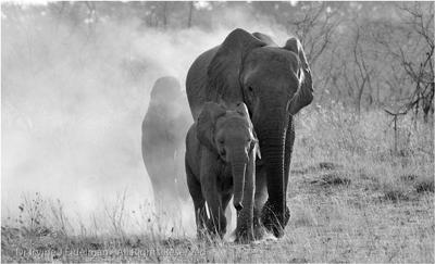 Elephant smoke-screen