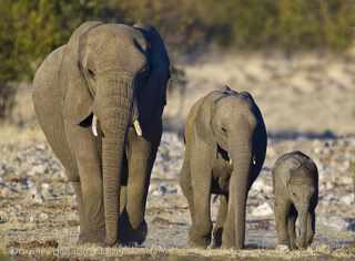 3 elephants at goas waterhole Etosha