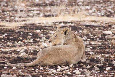 Lion lying in burned area