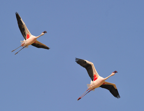 flamingos flying over Etosha pan
