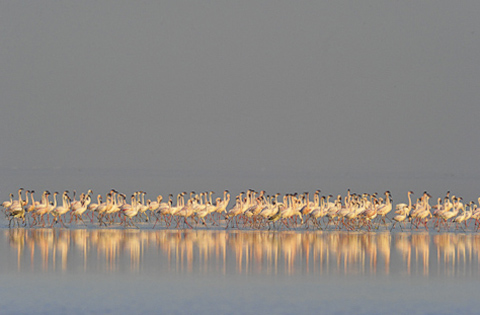 flaminogos on etosha pan
