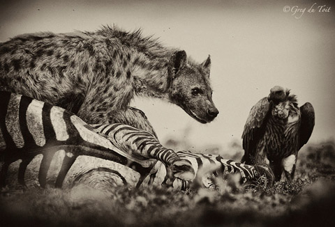 Hyena and vultures on zebra kill