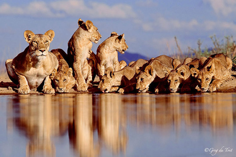 Lions drinking at eye-level with photographer