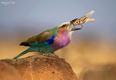 Lilac-breasted roller with grass-hopper kill