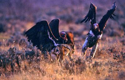 Black-backed jackal chasing lappet-faced vultures